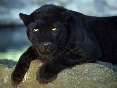 normal_Black_Leopard.jpg